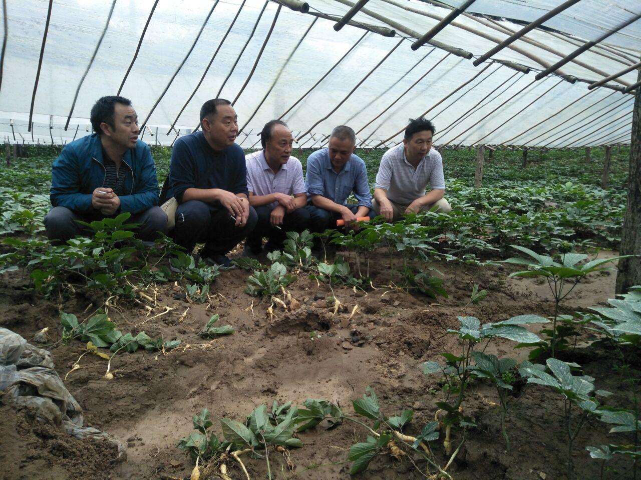 北农林科技大学留坝西洋参试验示范基地专家深入一线指导参农救灾